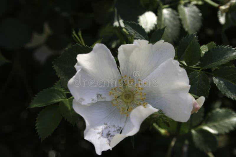 与白色瓣的花 免版税库存照片