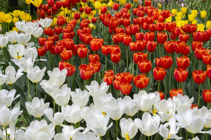 与白色红色黄色郁金香的花床,春天公园,开花的郁金香,庭院装饰花的春天绽放 库存图片