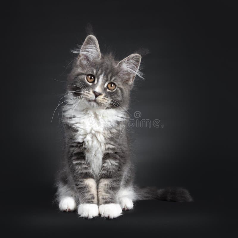 与白色缅因树狸猫的蓝色在黑色 库存图片