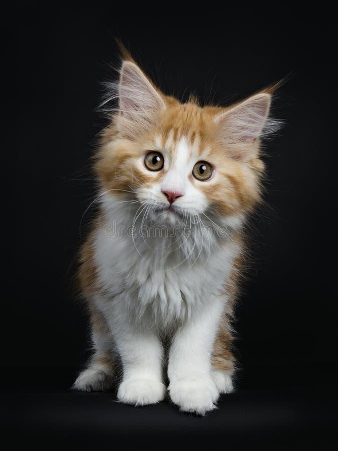 与白色缅因浣熊小猫的红色平纹在黑色 免版税库存照片