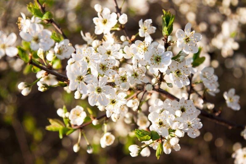 与白色美丽的花的开花的树 免版税库存照片