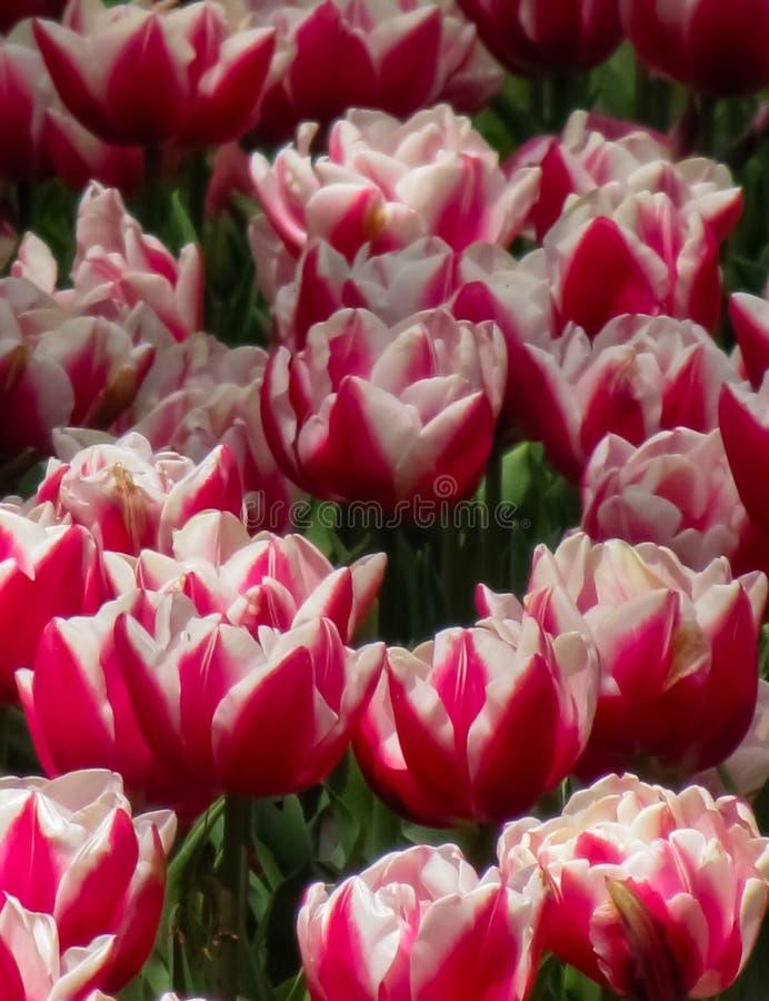 与白色详述的桃红色郁金香 免版税图库摄影