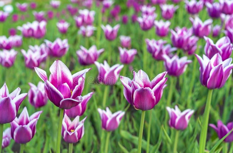 与白色边界的紫罗兰色郁金香以百合的形式 从百合科的Gesner的郁金香 库存图片