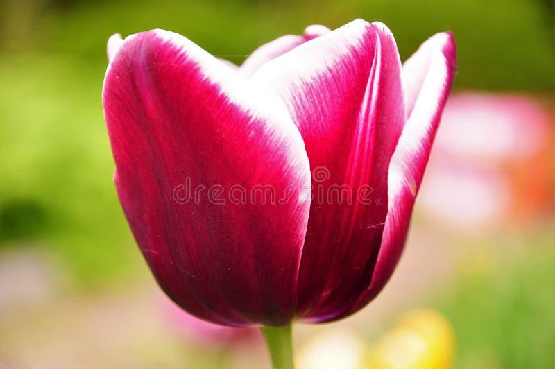 与白色边缘的美丽的紫色郁金香 免版税库存图片