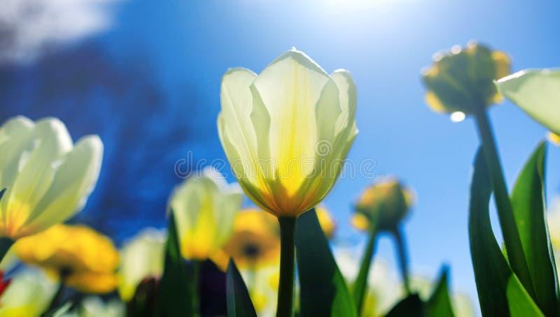 与白色郁金香的复活节背景在晴朗的草甸 与美丽的白色郁金香的春天风景 开花的花卉生长  库存图片
