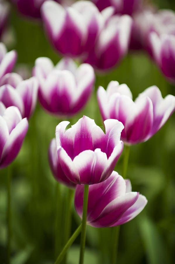 与白色郁金香领域的桃红色紫色 免版税库存照片