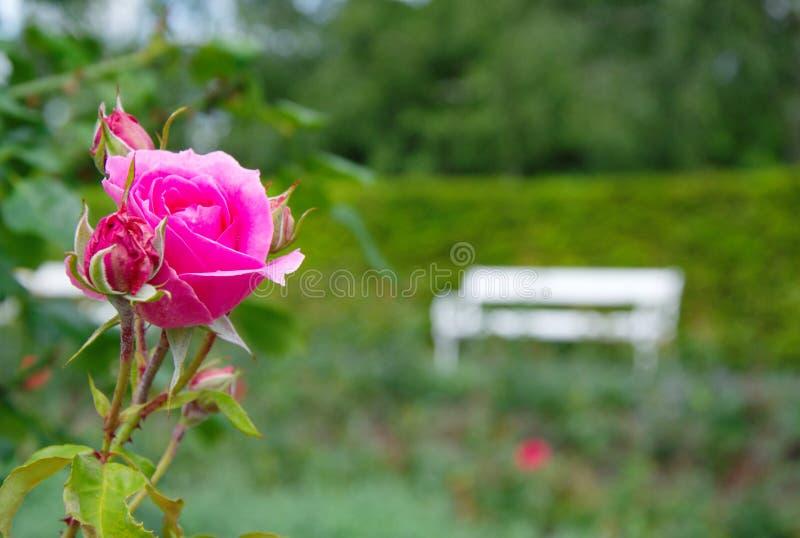 与白色长凳的浪漫开花的桃红色玫瑰在背景中 库存图片