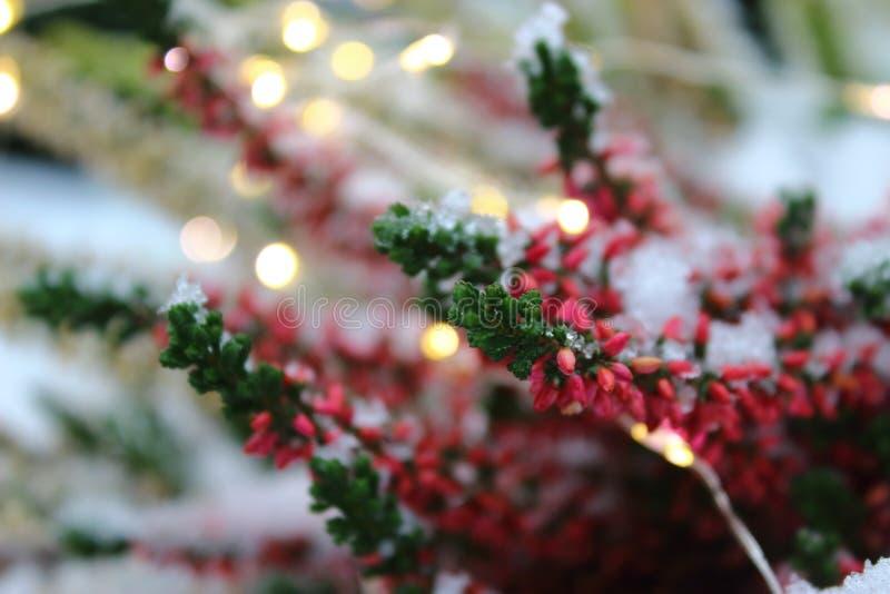 与白色雪和光的桃红色花 库存图片