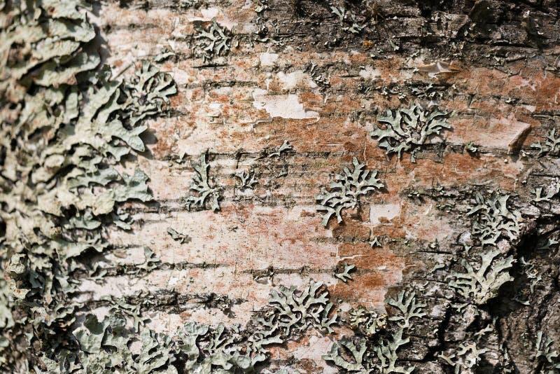 与白色青苔的老木树皮外皮纹理 选择聚焦 免版税库存图片