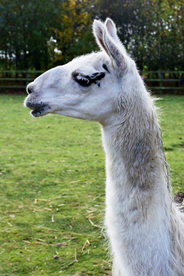 与白色面孔的骆马 免版税库存图片