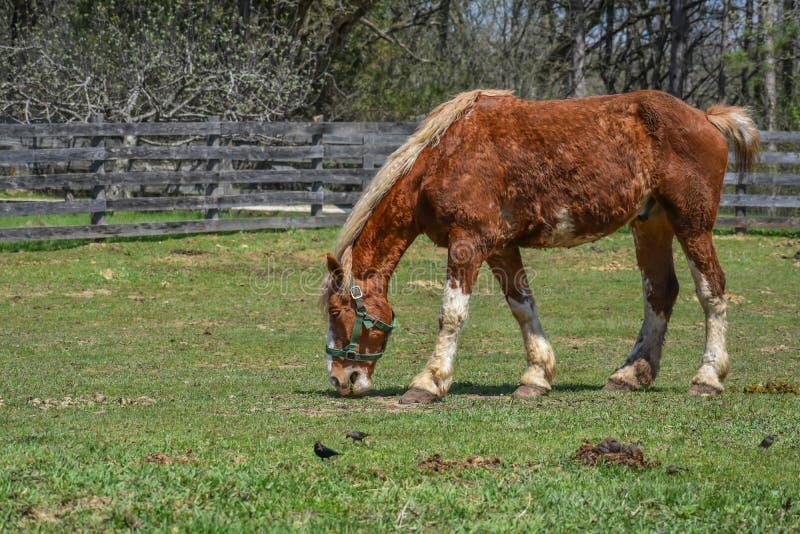 与白色鬃毛的布朗马吃在牧场地的 库存图片