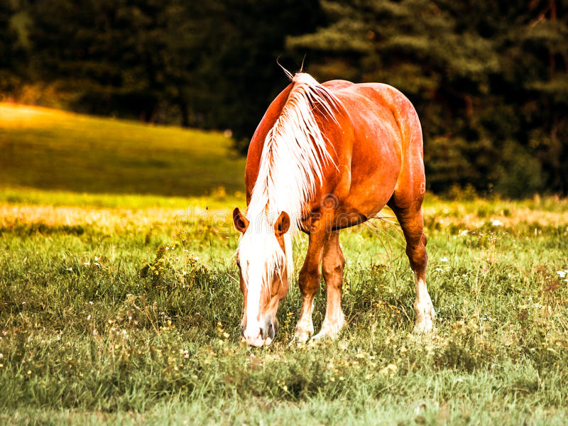 与白色鬃毛的布朗马吃草在草甸的 免版税库存照片