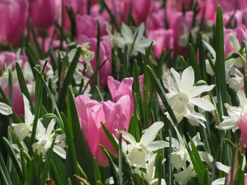 与白色黄水仙的桃红色郁金香 库存图片