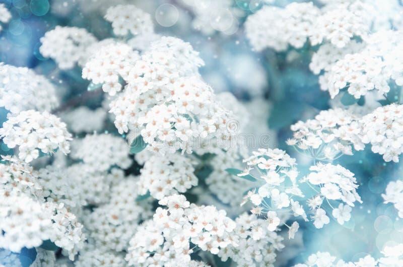 与白色spirea花的美好的春天背景 与蓝色和轻的假日背景被弄脏的 免版税库存照片