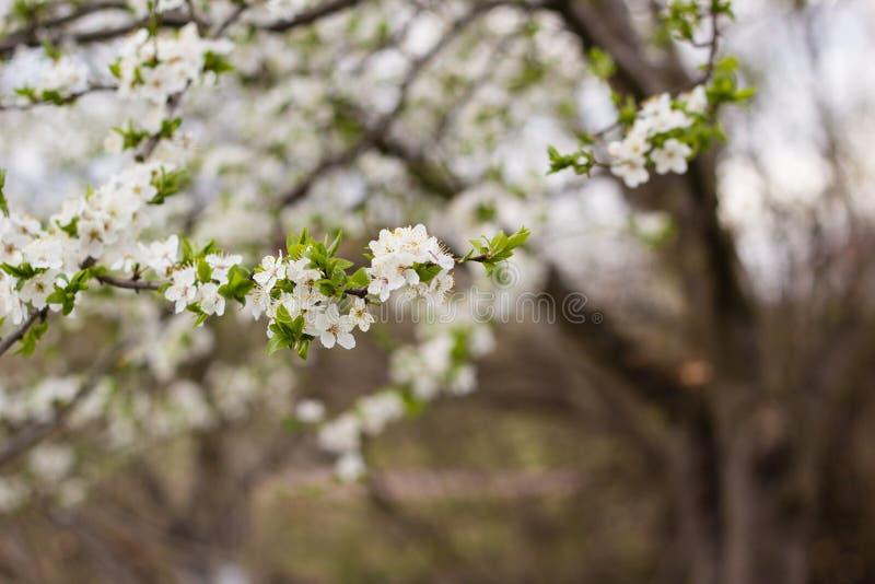 与白花和绿色叶子的春天树 免版税库存照片