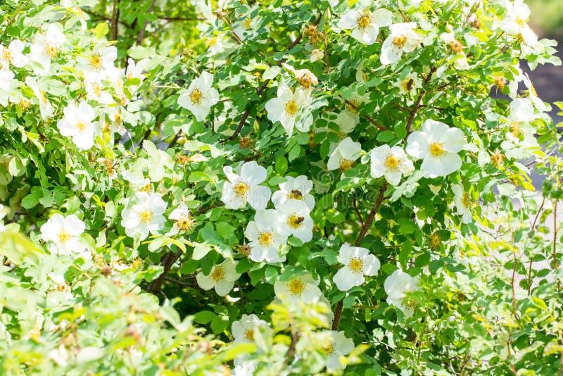 与白花在一好日子,蜂的狂放的玫瑰丛收集花蜜 库存图片