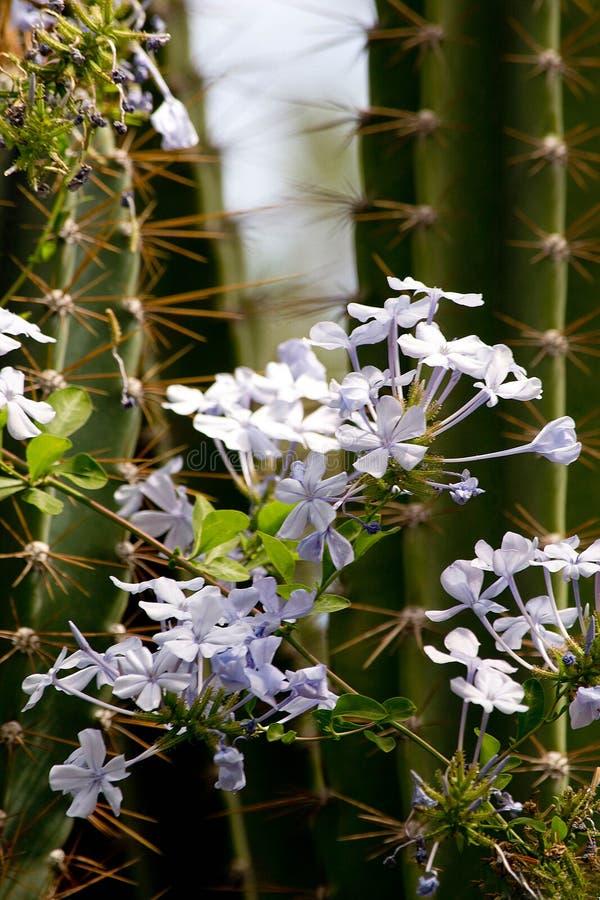 与白花的仙人掌绽放 库存图片