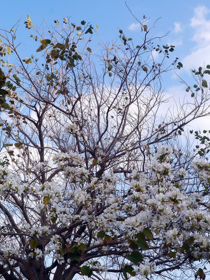 与白花的分支在春天在庭院里 免版税库存图片