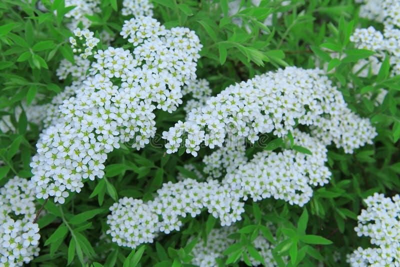 与白花的分支在绿色叶子背景  开花的spirea 免版税库存照片
