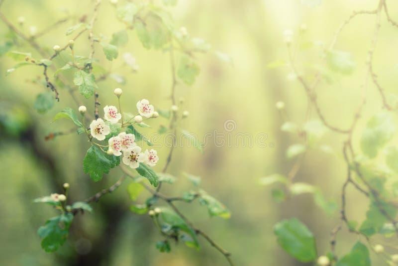 与白花的开花的树,春天花卉抽象背景,软的焦点 免版税库存照片