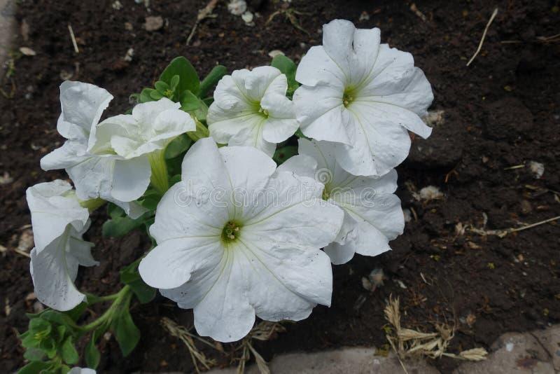 与白花的杂种喇叭花在5月 免版税库存照片