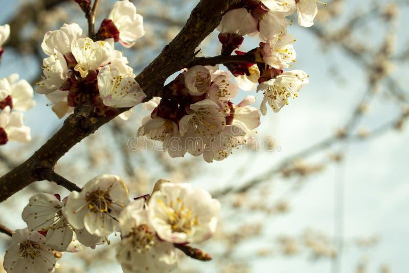 与白花的杏树绽放 免版税图库摄影