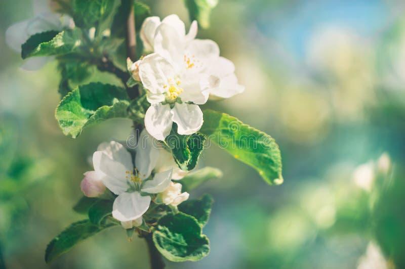与白花的苹果树分支在春天庭院关闭 唤醒的概念自然 免版税库存照片