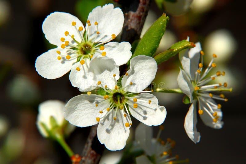 与白花的黑刺李绽放在春天庭院洋李美丽的植物开花的庭院 库存照片