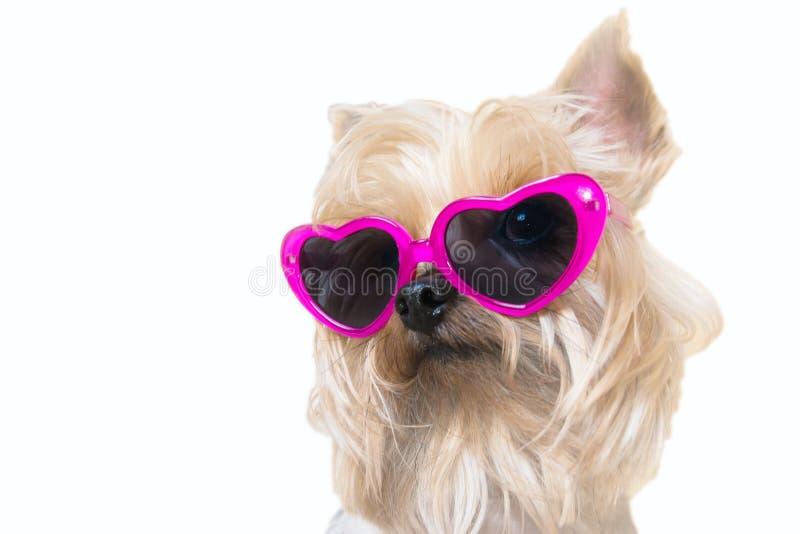 与的蓬松狗心脏太阳镜 免版税库存照片