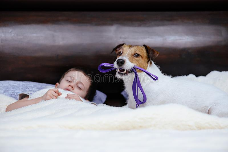 与皮带的狗在嘴叫醒他的伴侣散步 库存图片