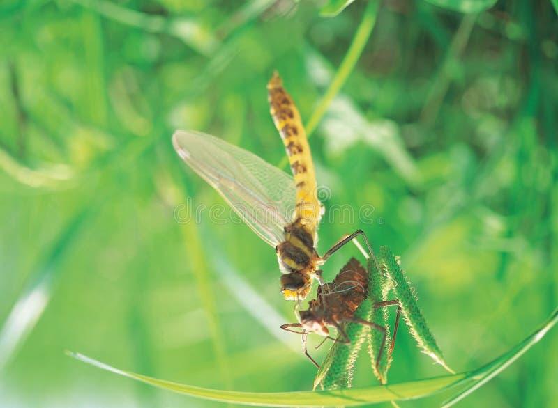 与皮肤的蜻蜓