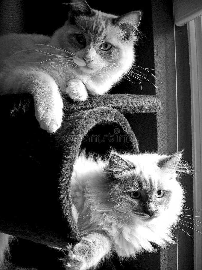 与相当蓝眼睛的两只好的Ragdoll猫 库存照片