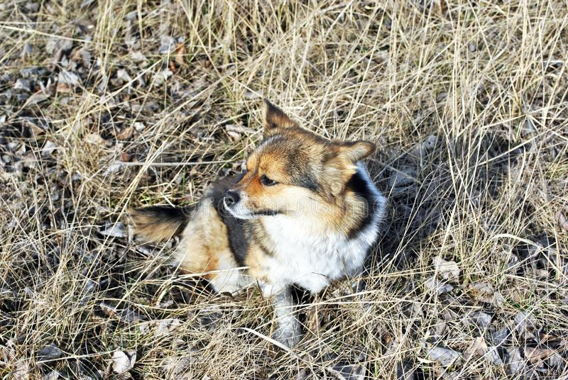 与看白色,棕色和黑的补丁的小逗人喜爱的蓬松狗坐有腐烂的草的沼地和斜向一边 库存图片