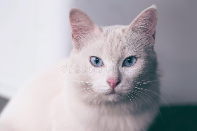 与看的蓝眼睛的西伯利亚白色米黄小猫猫今后坐和 库存照片