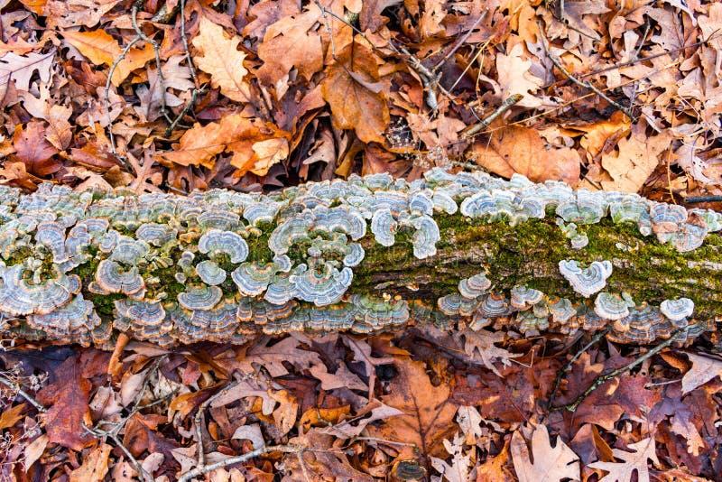 与真菌的日志在与五颜六色的秋叶的一个森林地板上 库存照片
