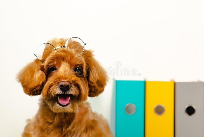 与眼镜的一条可爱的微笑的棕色玩具狮子狗狗在他的有工作文件的头在背景所有者的照片概念 图库摄影