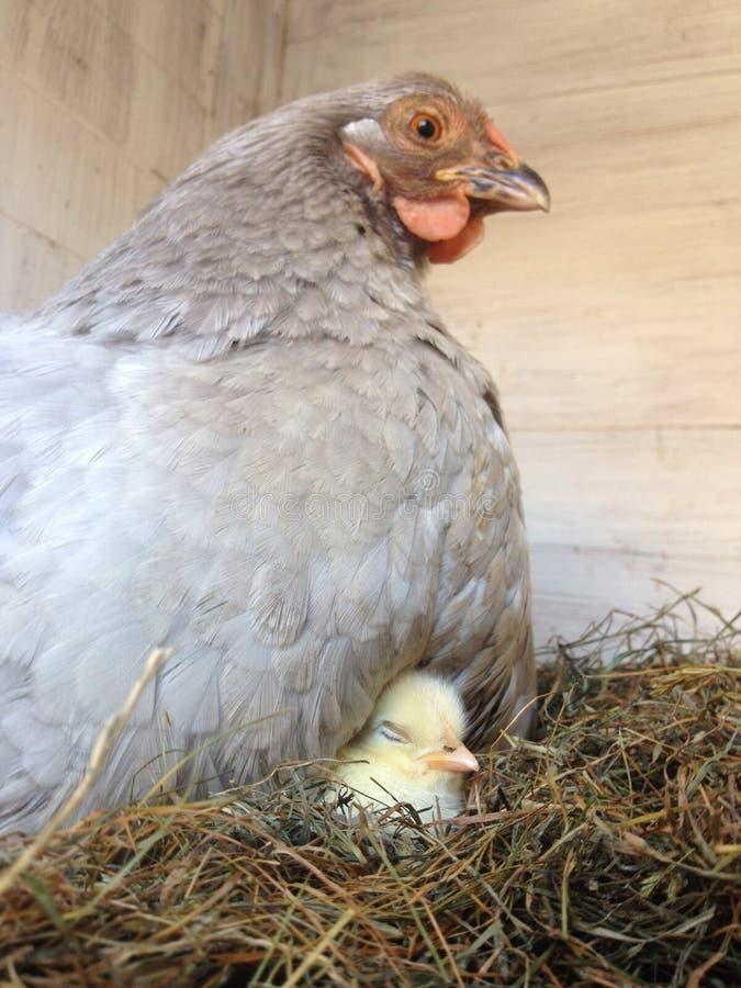 与睡觉品种的母鸡在翼下 库存图片