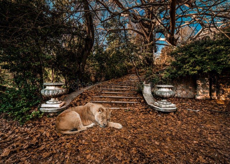 与睡觉在叶子的狮子的梦想的童话冬天场面 免版税库存照片
