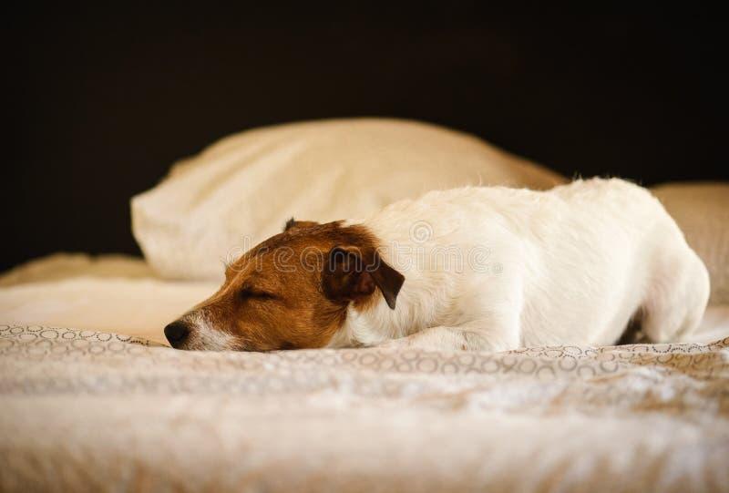 与睡觉在所有者的床上的淘气狗的舒适场面 库存图片