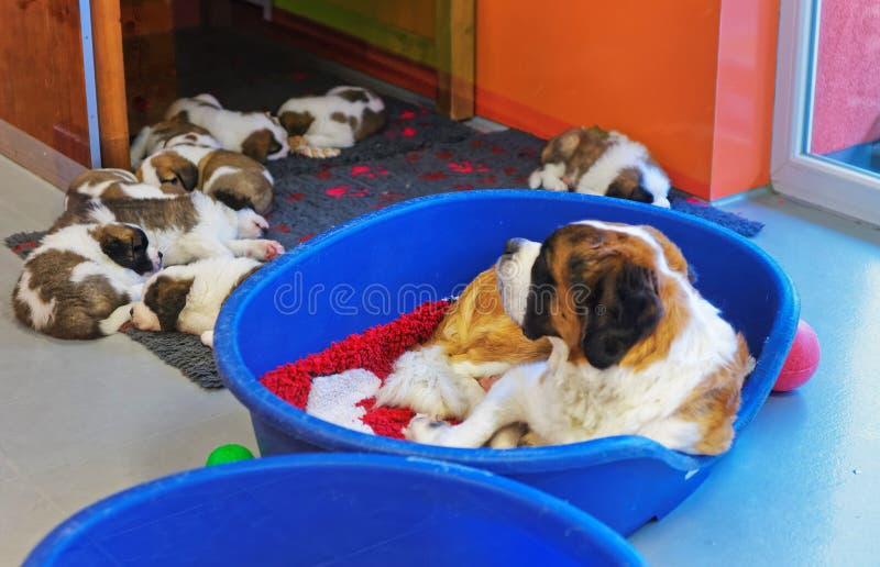 与睡觉在狗窝Martigny的小狗的圣伯纳德成人狗 库存照片