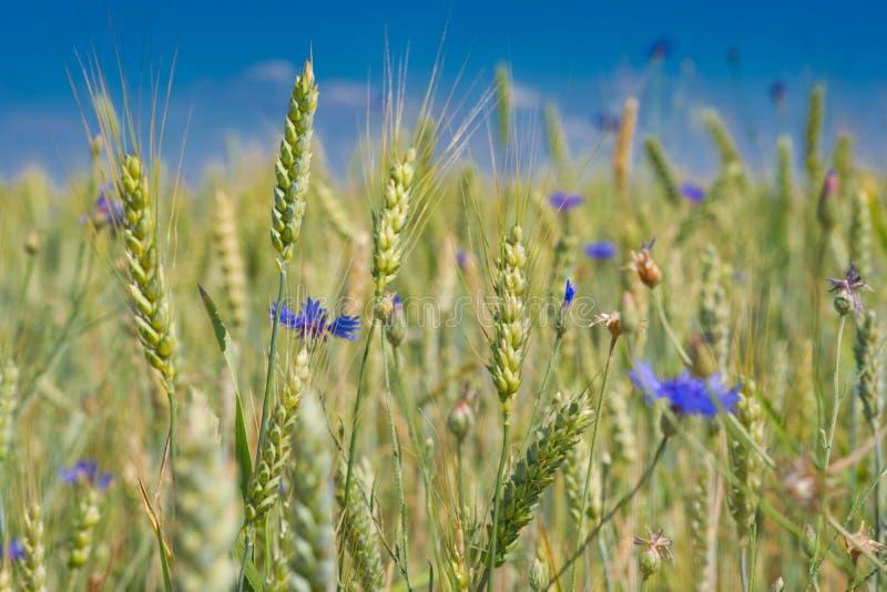 与矢车菊的大麦领域 库存图片