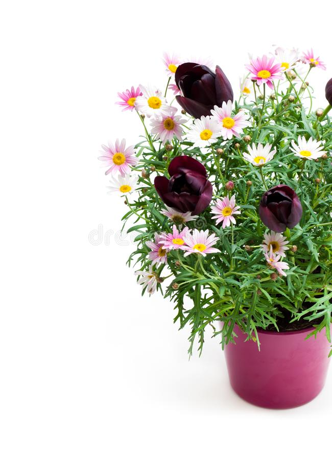 与矮小的黑郁金香的桃红色雏菊延命菊在花盆我 免版税库存图片