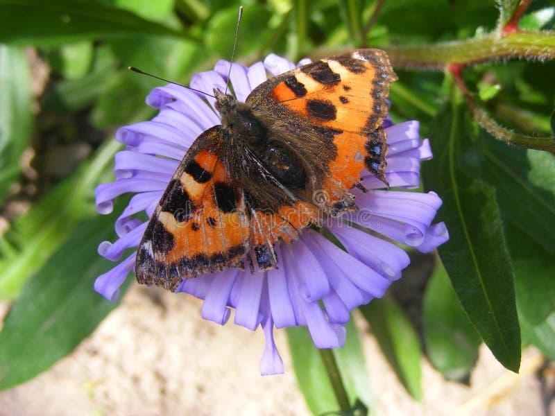 与破旧的翼的蝴蝶蜂房在紫罗兰色花关闭 库存图片