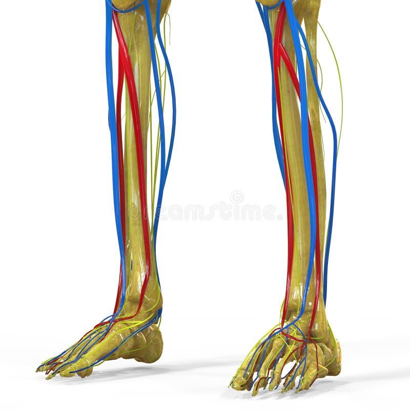 与神经系统的人的腿联接 库存例证
