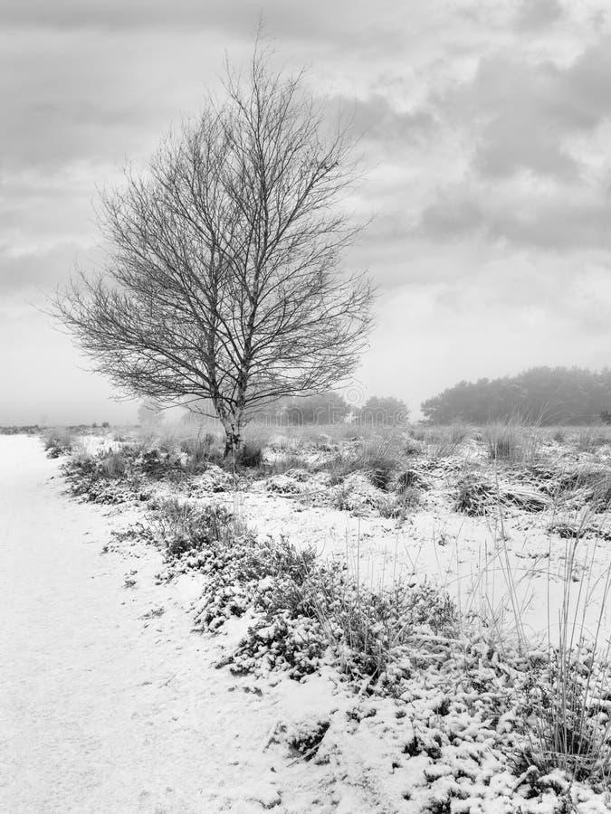 与秃头树的冬天场面在积雪的欧石南丛生的荒野,Regte海德,Goirle,荷兰 免版税图库摄影
