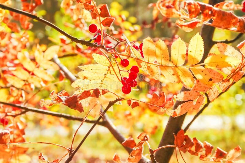 与秋叶和莓果的花揪分支在背后照明 库存照片