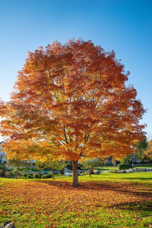 与秋天叶子的槭树在一个公园在新英格兰 免版税库存照片