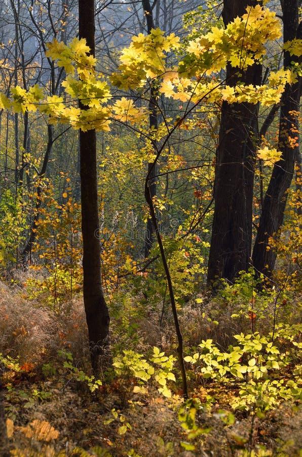 与秋天的小的槭树上色了叶子 库存照片
