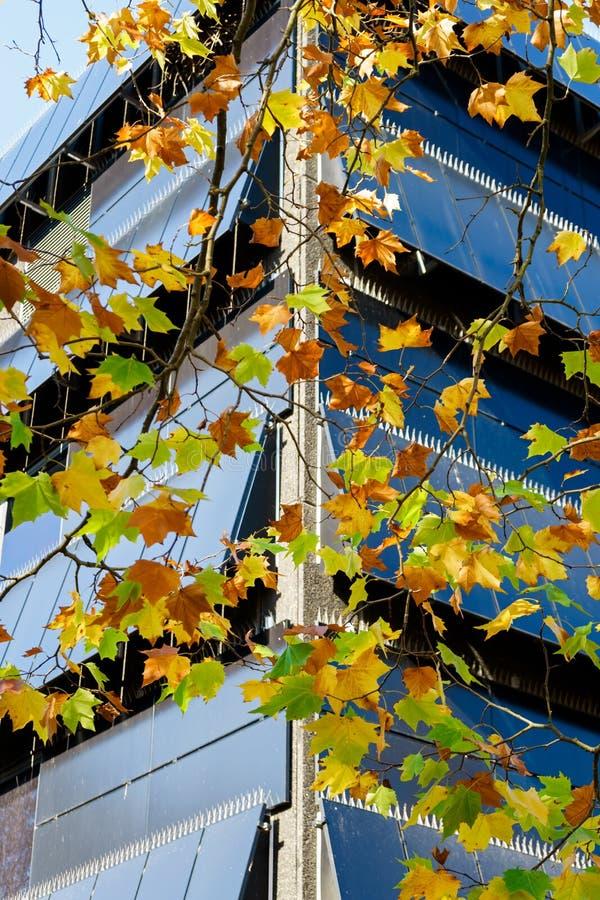 与秋天的槭树分支上色了叶子和办公楼在背景 免版税库存图片