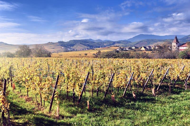与秋天葡萄园的风景 法国,阿尔萨斯 库存照片